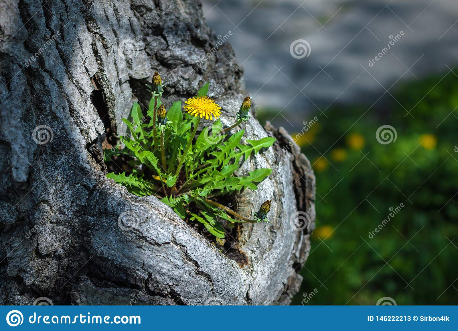Maskrosen växer nolla det gamla trädet