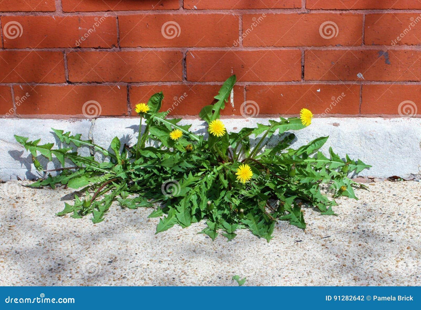 Maskrosor som växer mellan en vägg och trottoaren, ståndaktighet