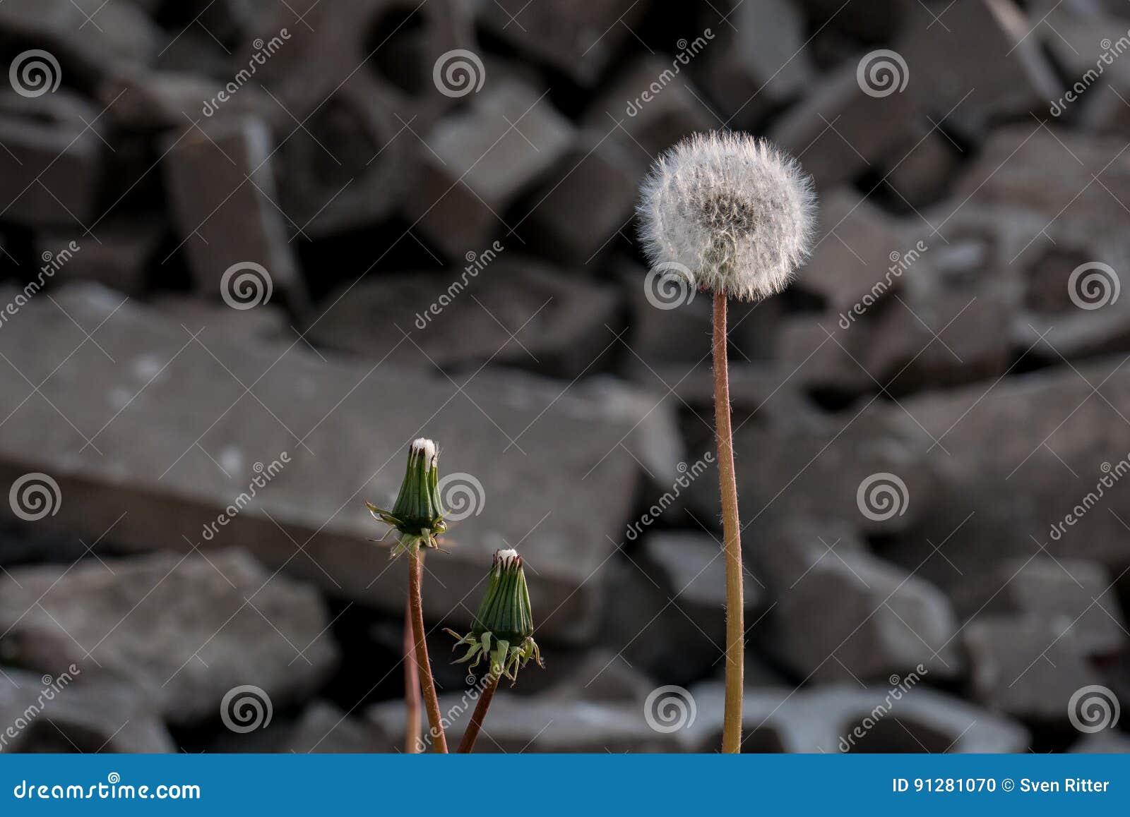 Maskrosslagboll framme av stenar