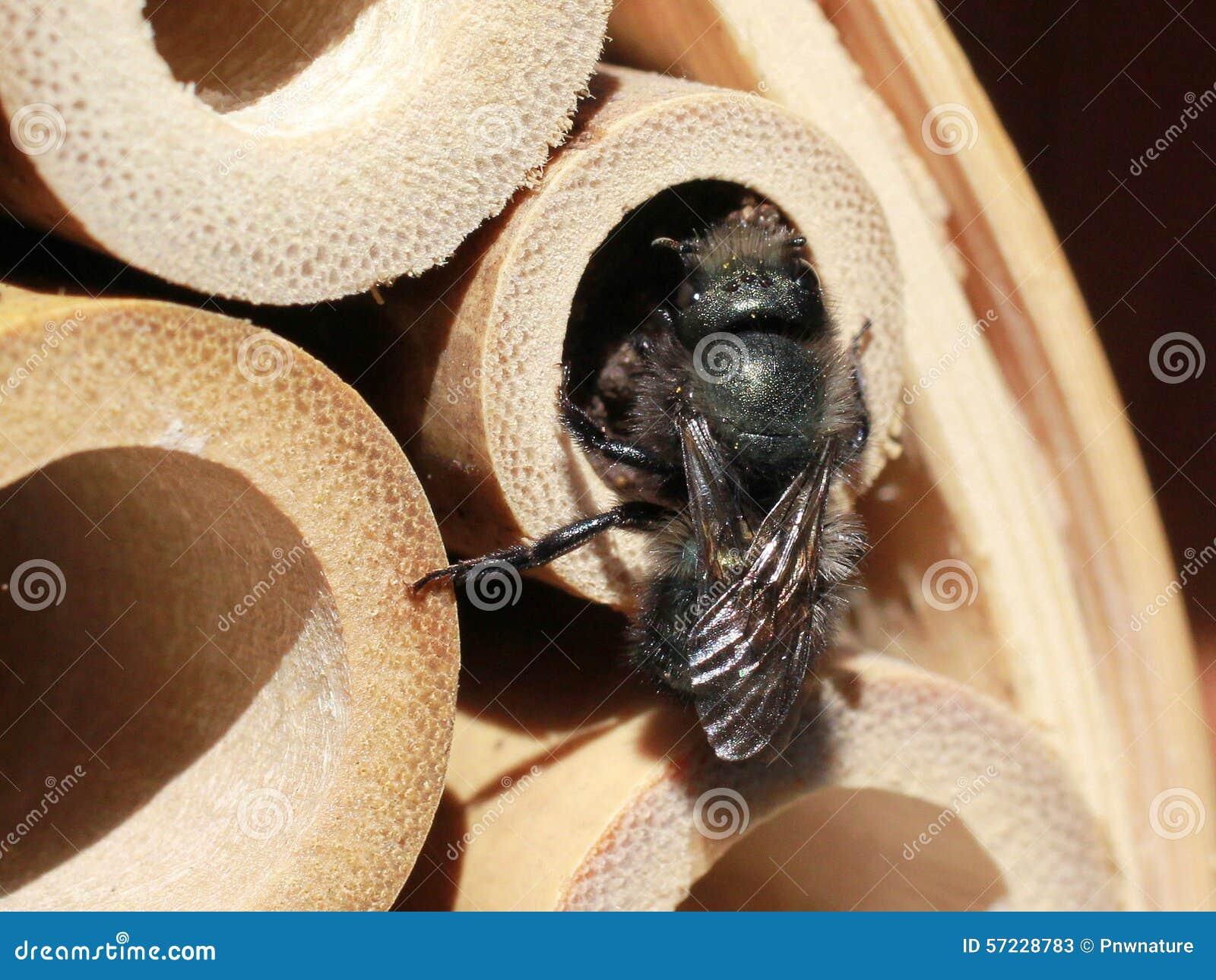 Mason Bee Finishing ett rede i ett bamburör