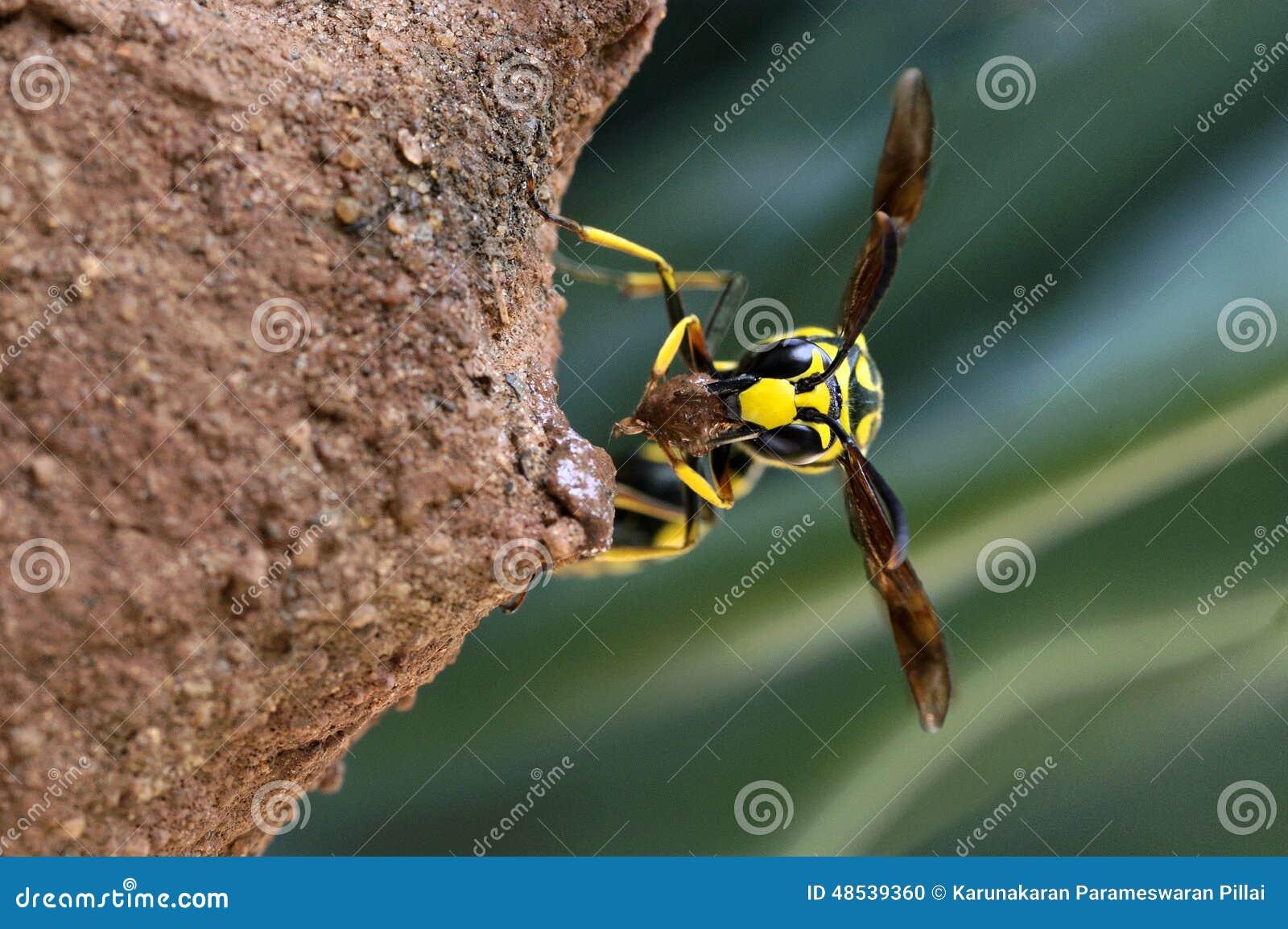 Mason wasp building nest