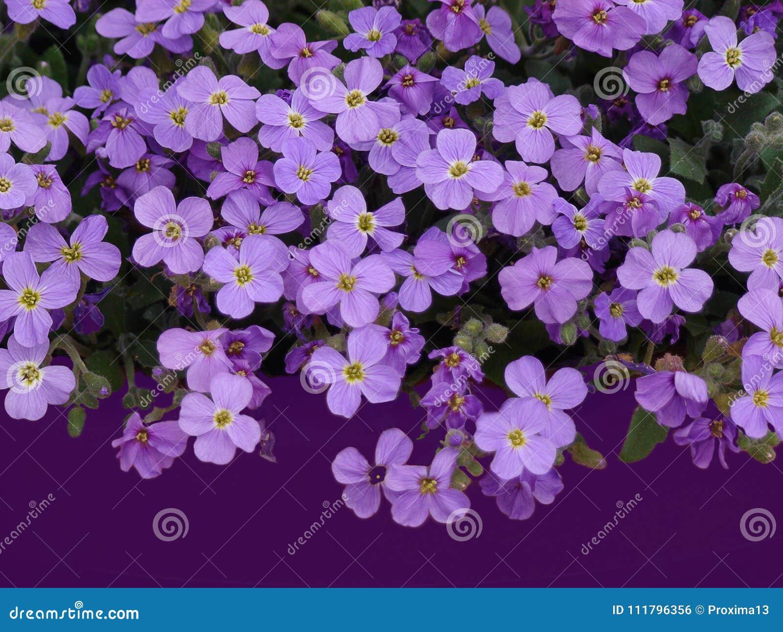 Mass Of Purple Flowers Of Lobelia On A Dark Purple Background Free