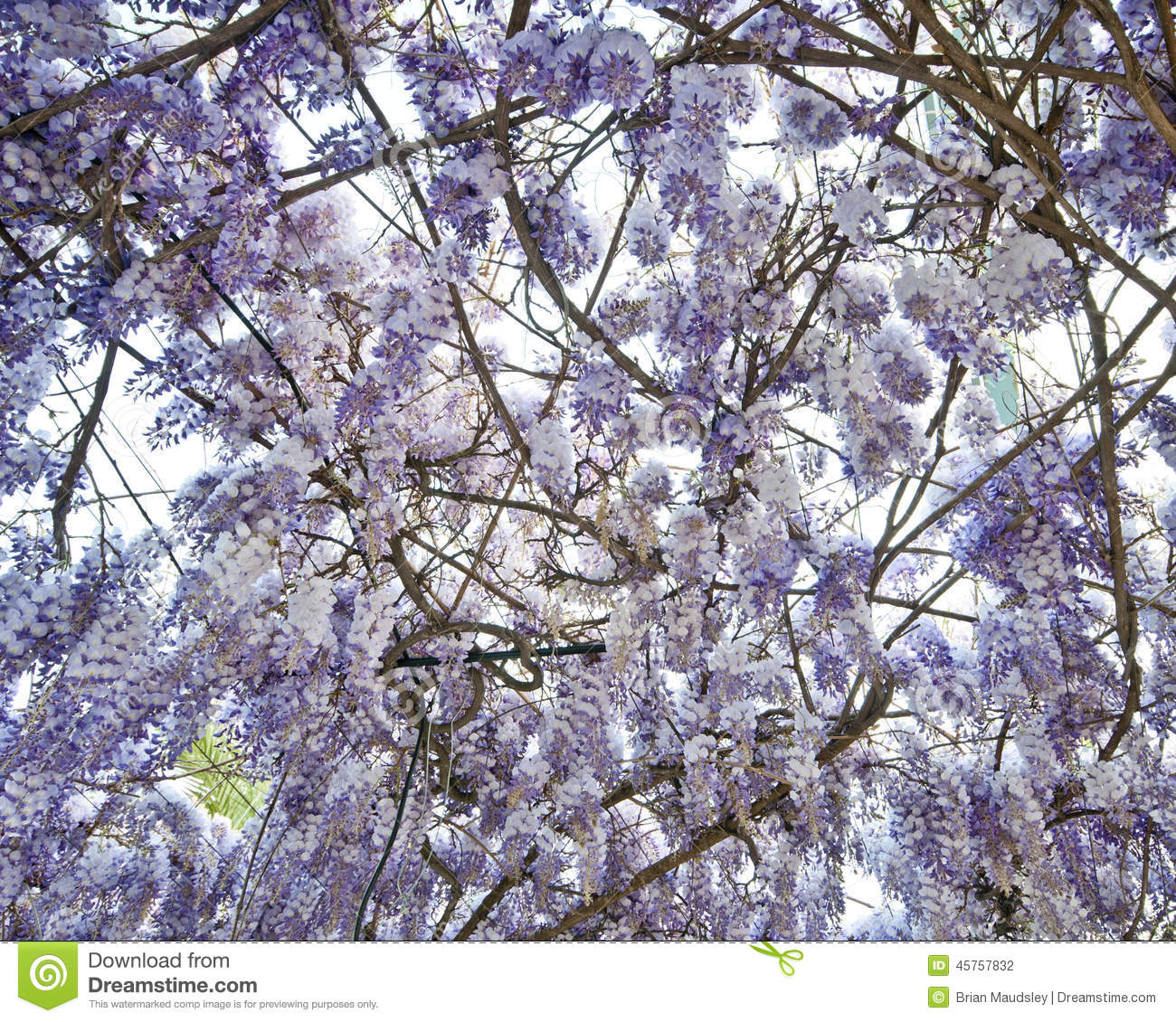 Mass of Wisteria blooms