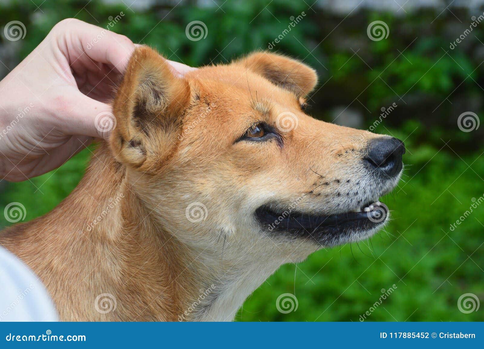 Massage för hundhuvud