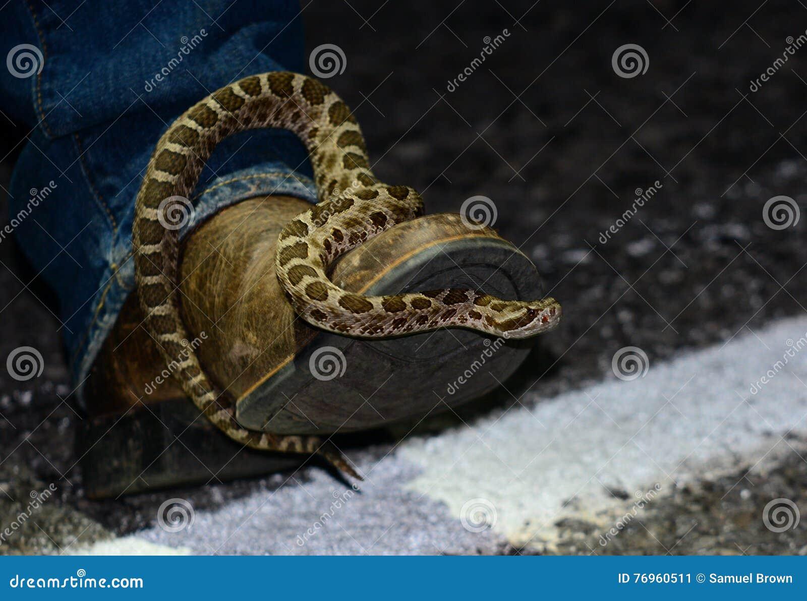 Massasauga ocidental que senta-se em uma bota