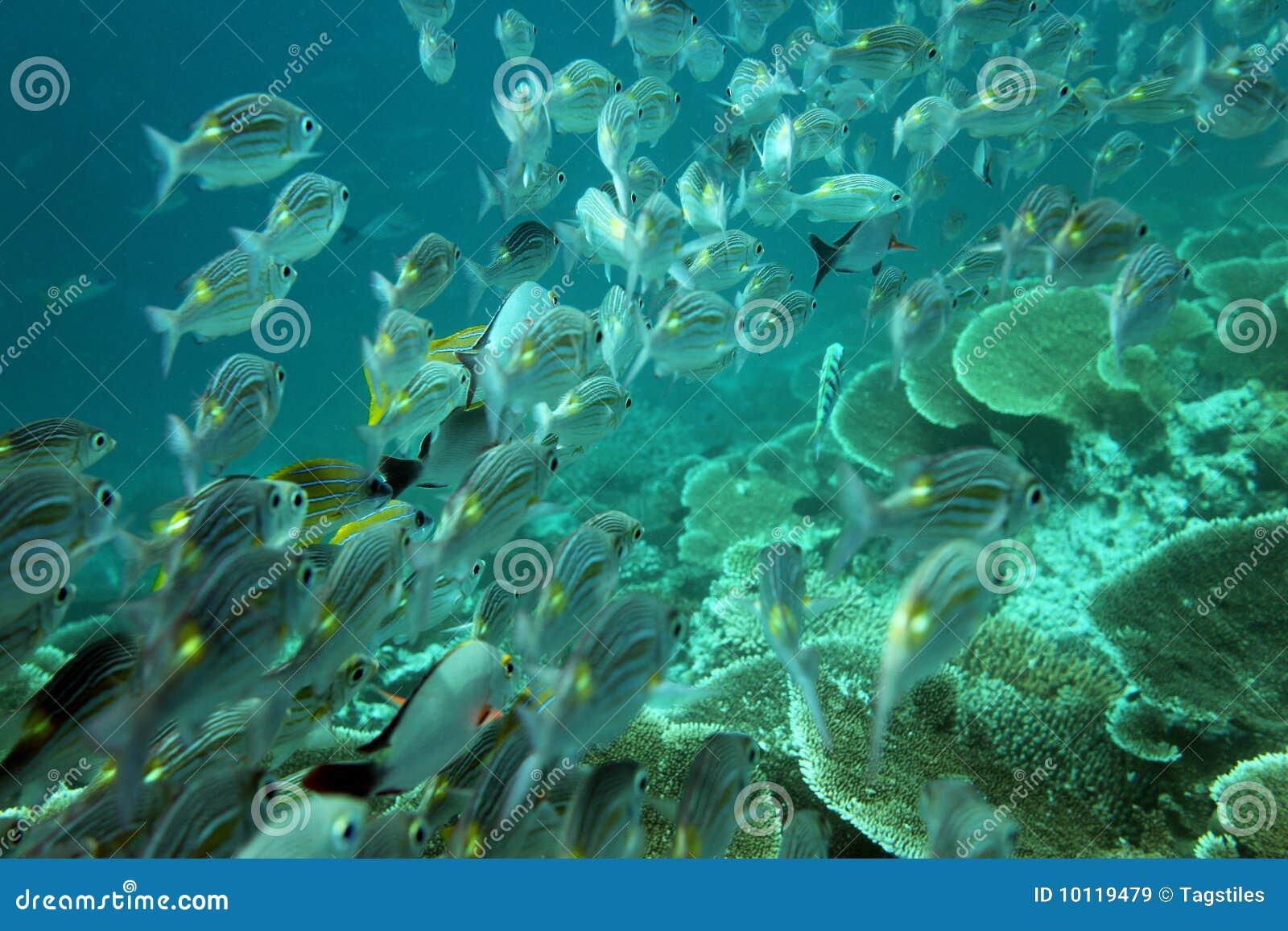 Download Masse der Fische stockbild. Bild von indisch, warm, atoll - 10119479