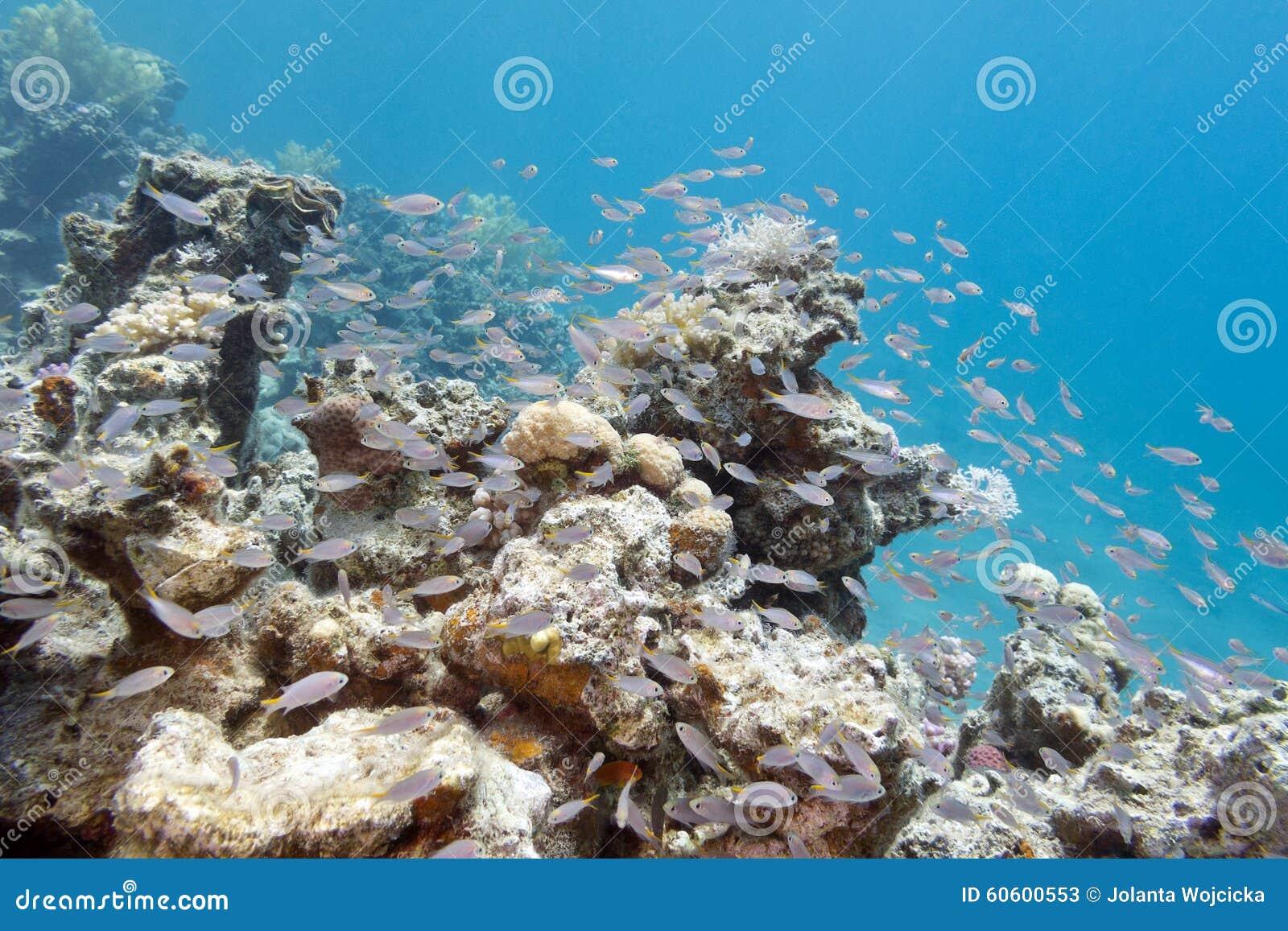 masse von glassfishes  kehrmaschinen des roten meers
