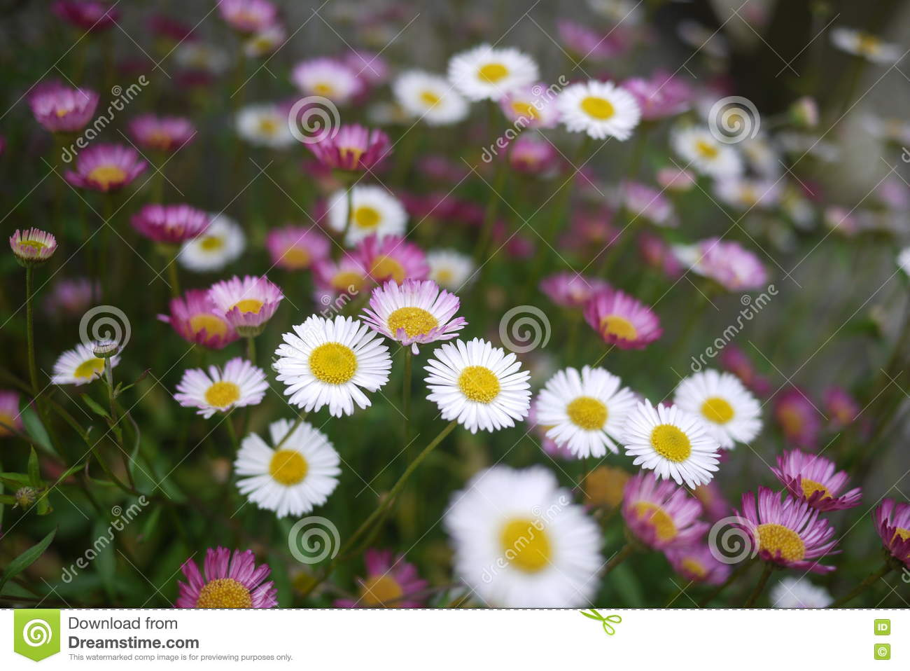 Masses Of Small Pink And White Daisies Stock Image Image Of Centre