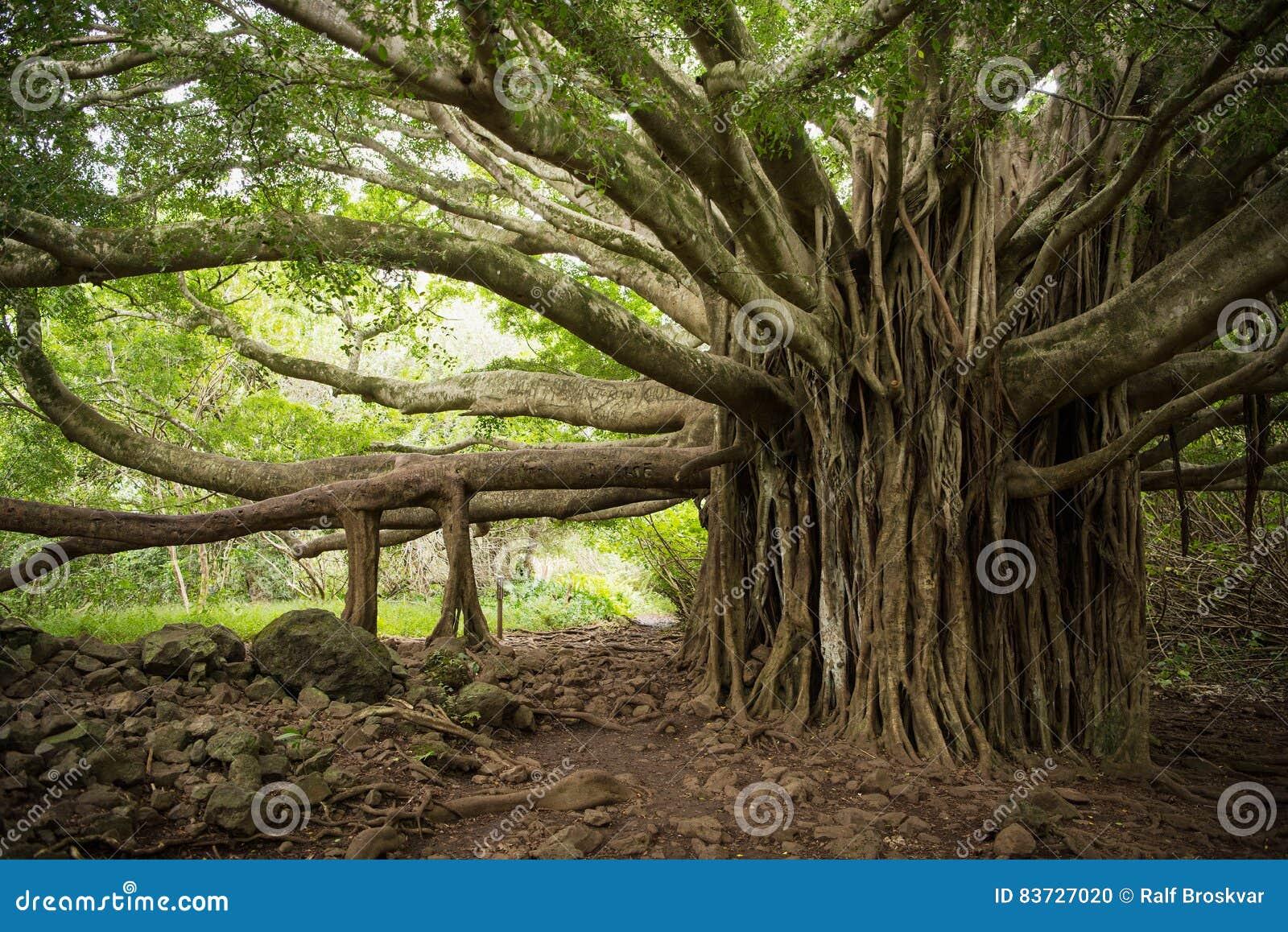 Massieve Banyan-Boom in Maui