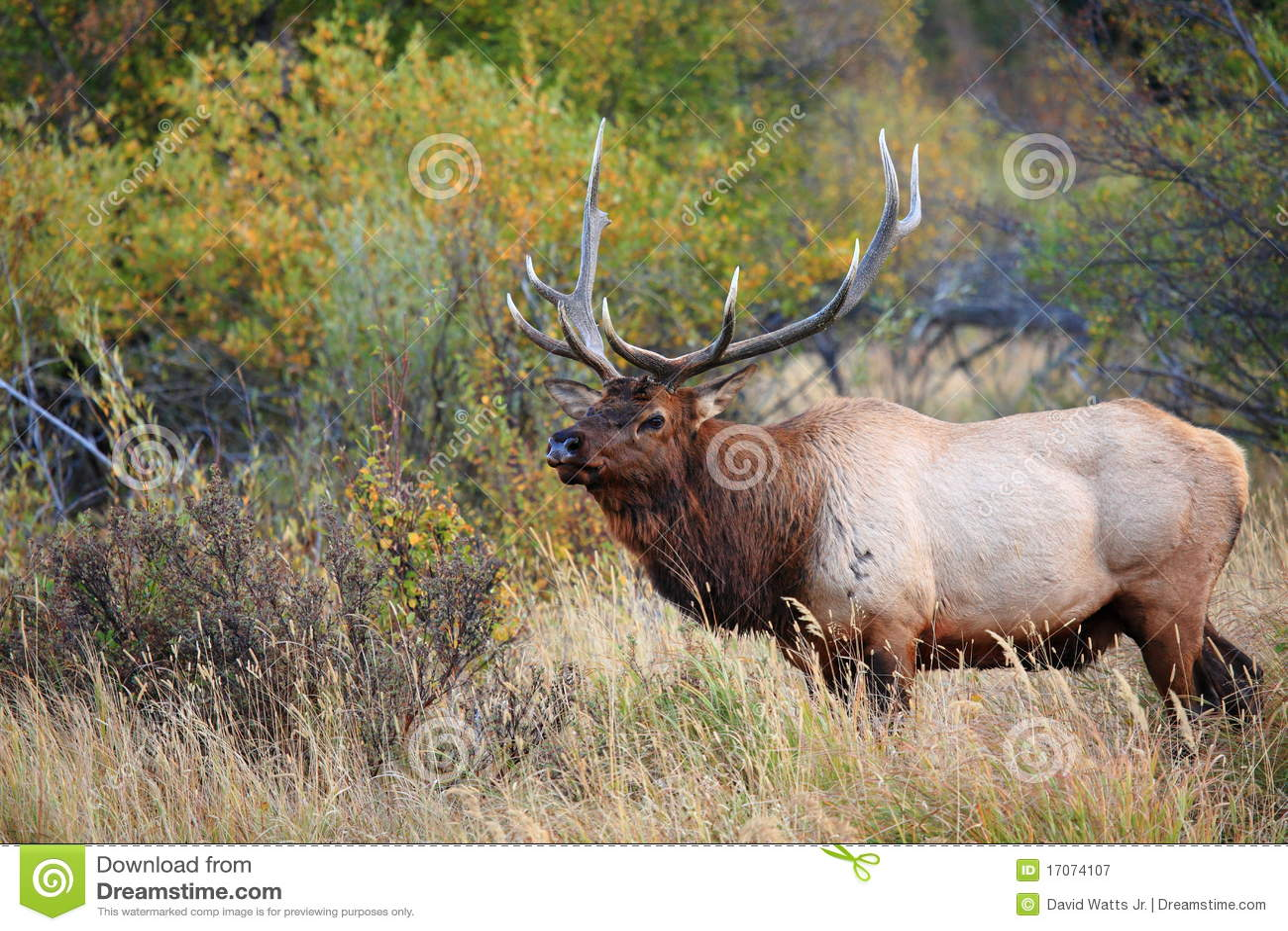 Bull elk pictures free