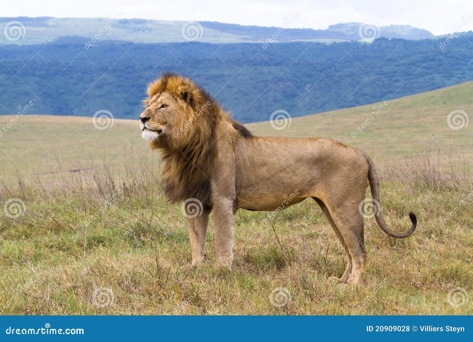 Massive male lion