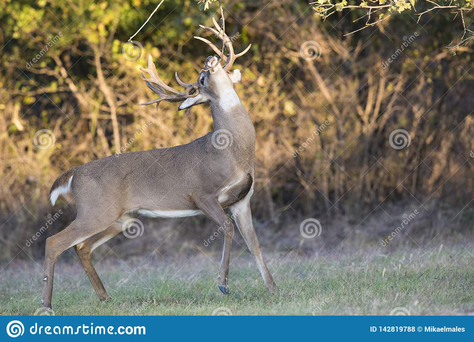 Massive non typical whitetail buck making rub on tree branch during the rut while lip curling