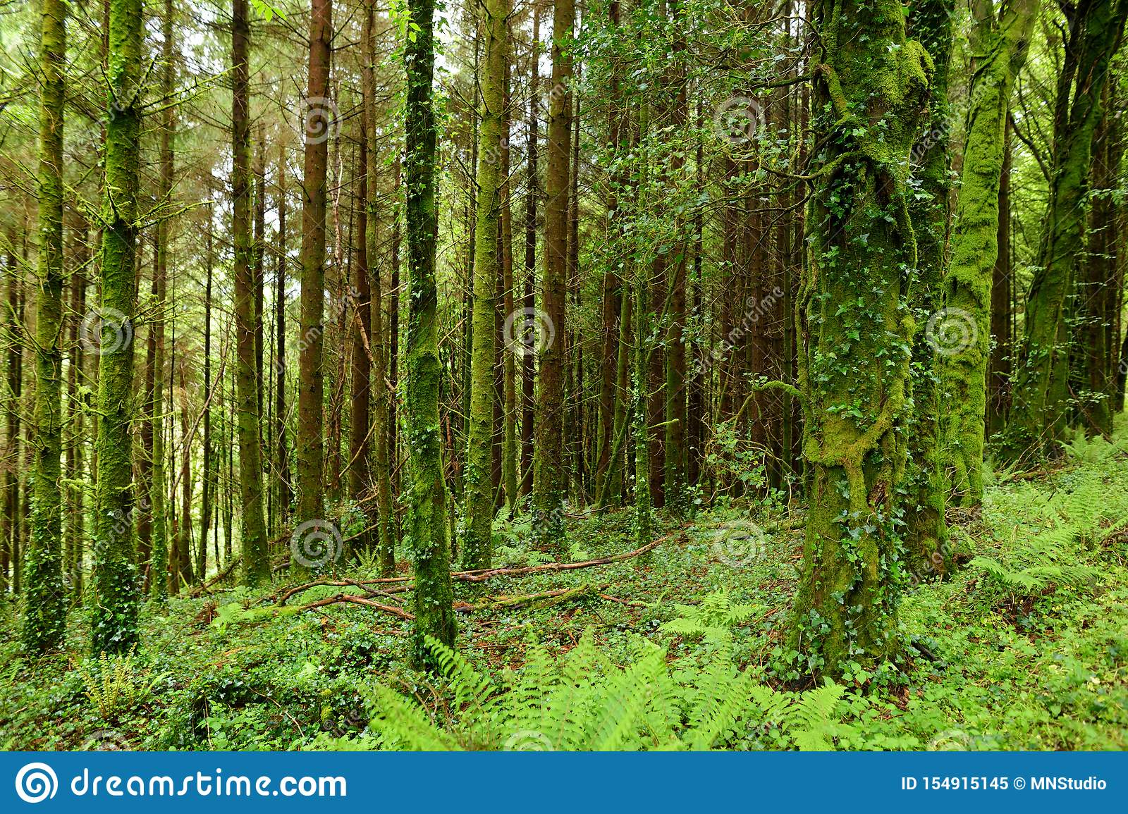 Massive Pine Trees With Ivy Growing On Their Trunks Impressive