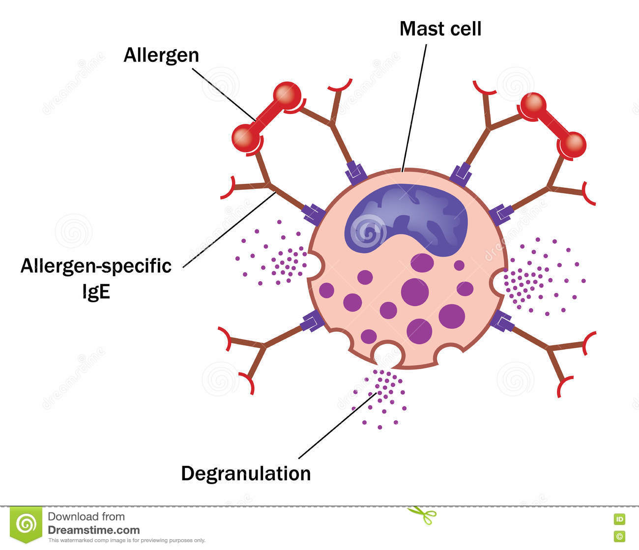 Mast cell and allergen stock vector  Illustration of cell