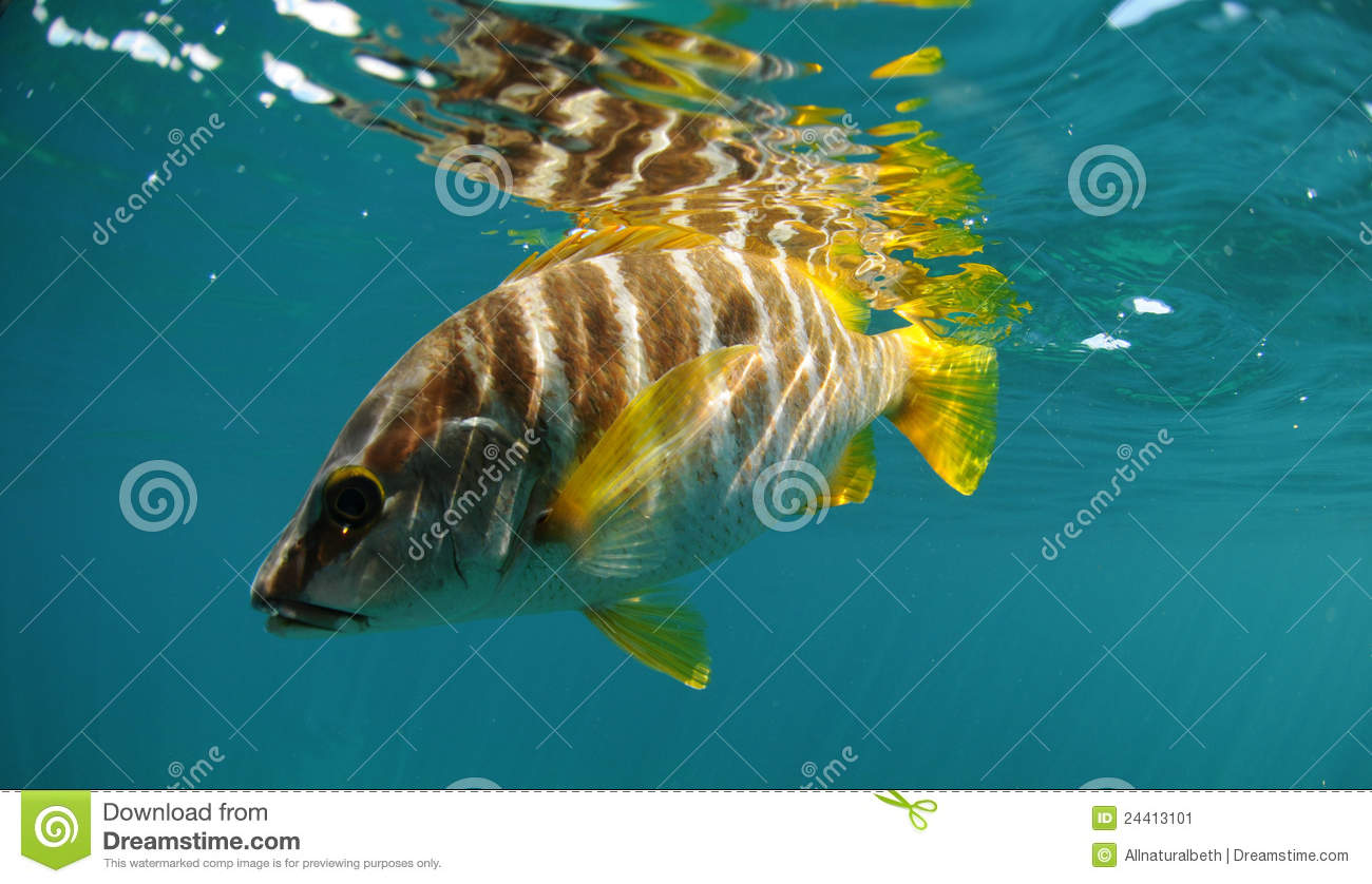 Master snapper fish swimming in ocean stock image image for Dream of fish swimming