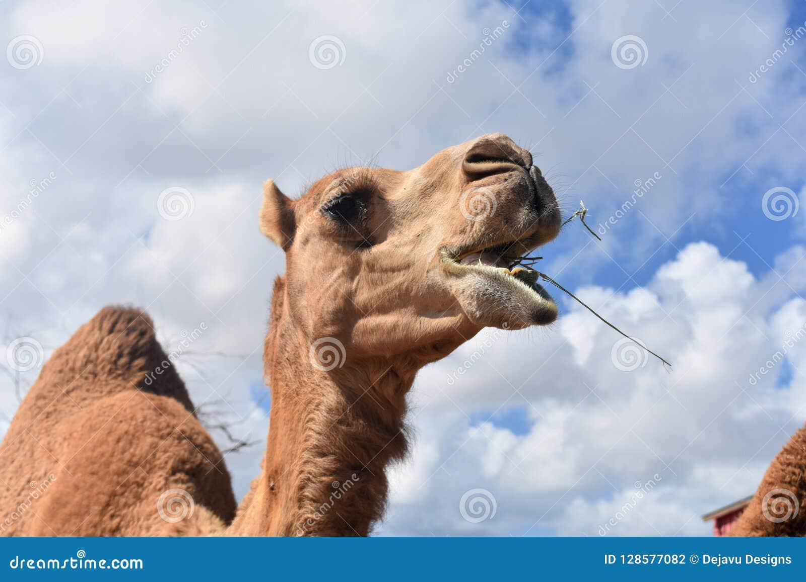 Mastication en gros plan de Dromadaire-chameau