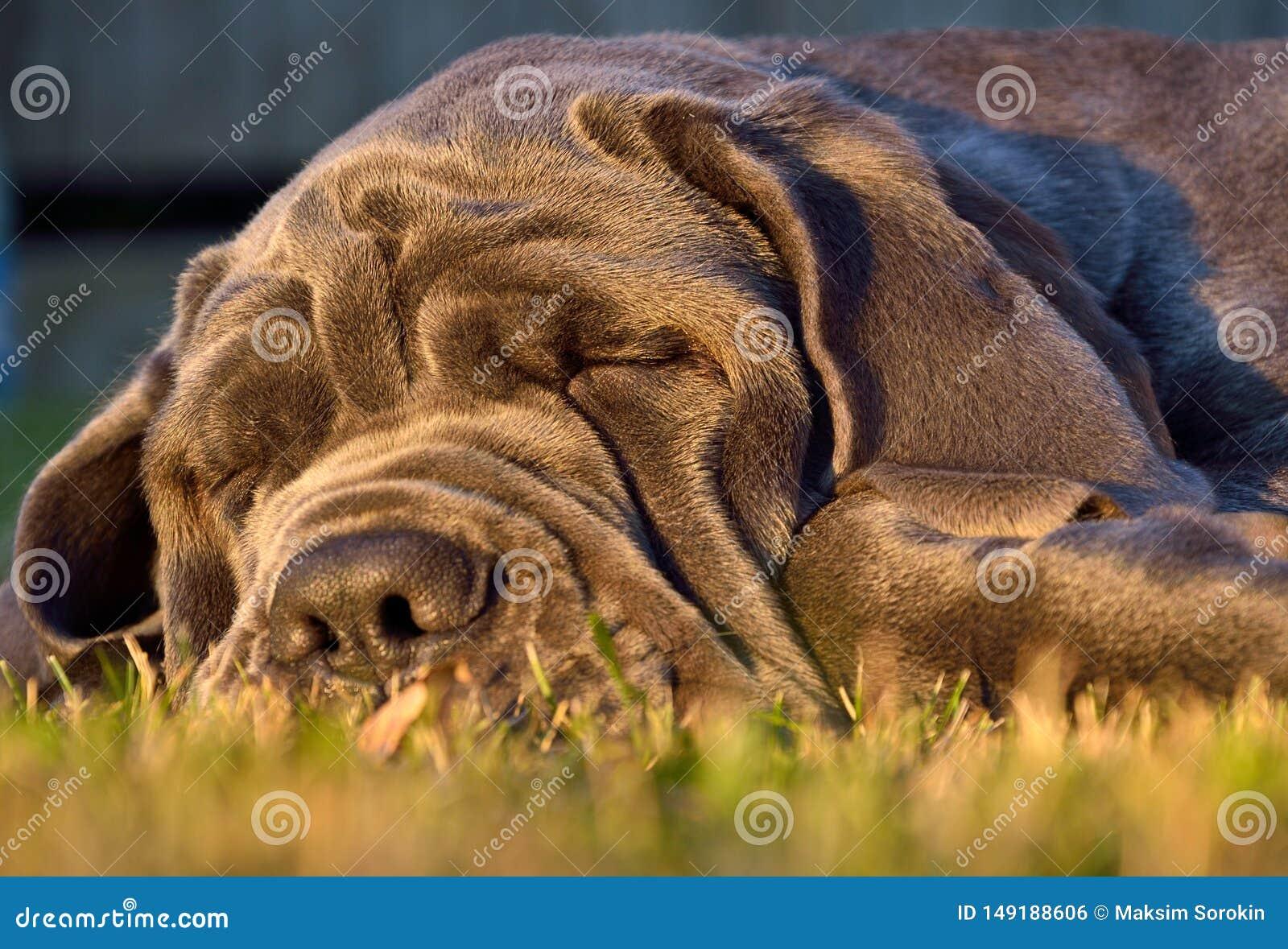 Mastiff собаки спать большой на зеленой траве