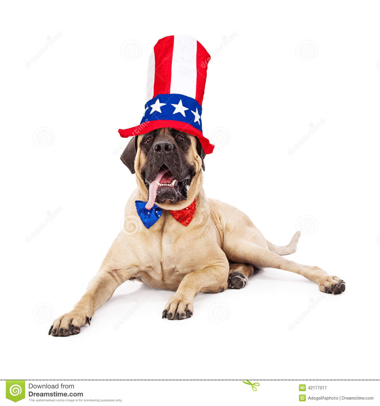 A cute large Mastiff dog laying against a white backdrop with his tongue  hanging out and wearing a sparkly red d860ee40115f