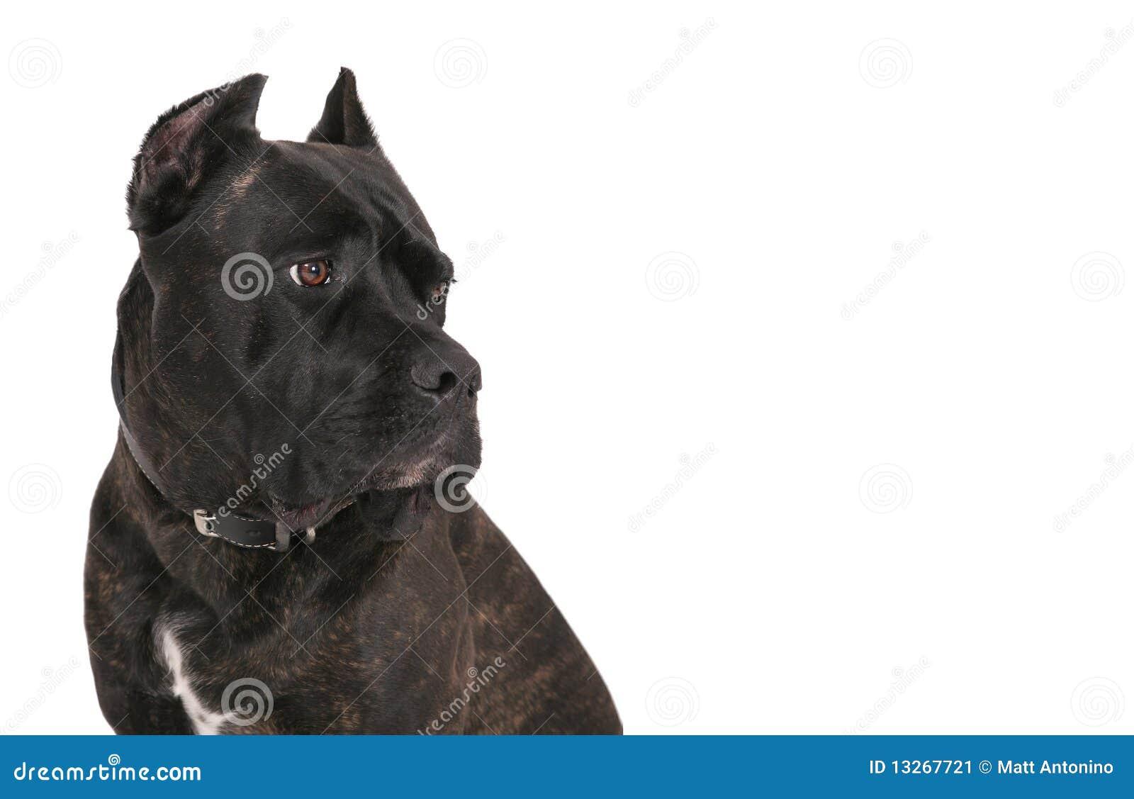 Mastiff nero