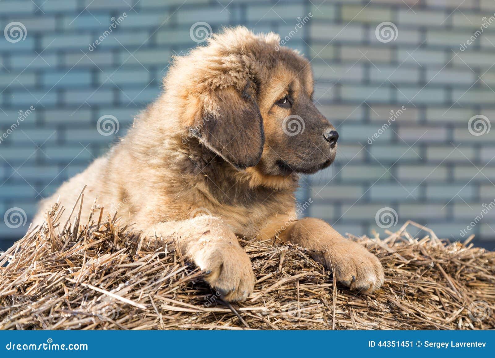 Mastino tibetano della razza del cucciolo