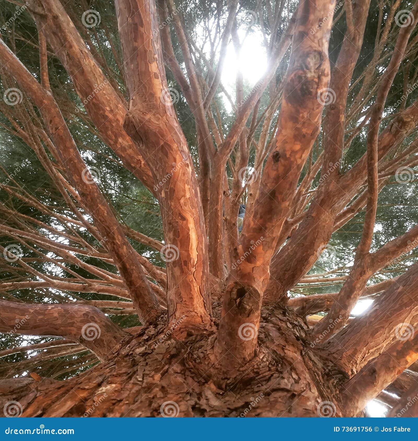 Masywny drzewo
