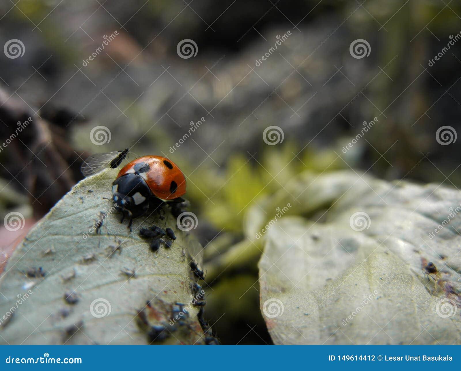 Matande bladlus f?r dam Bird i blad f?r Viciafabab?na