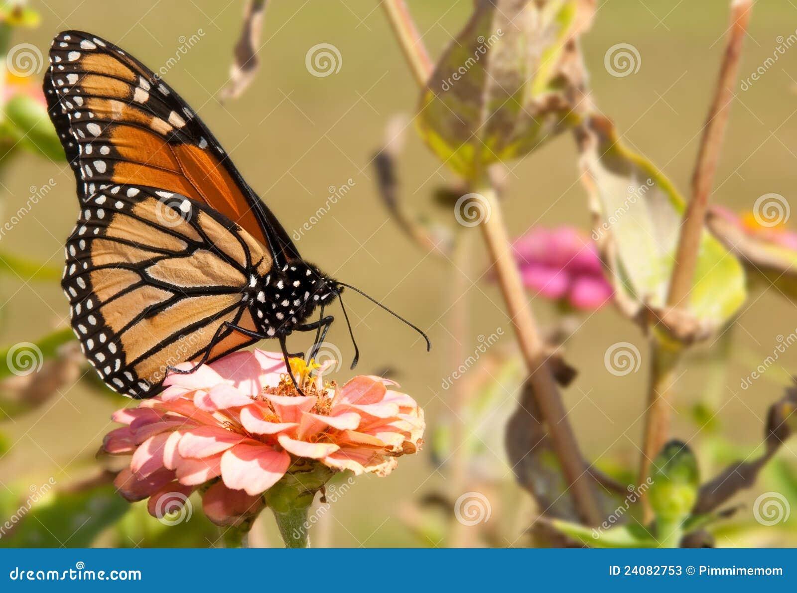 Matande blomma för fjäril ursnygg monark