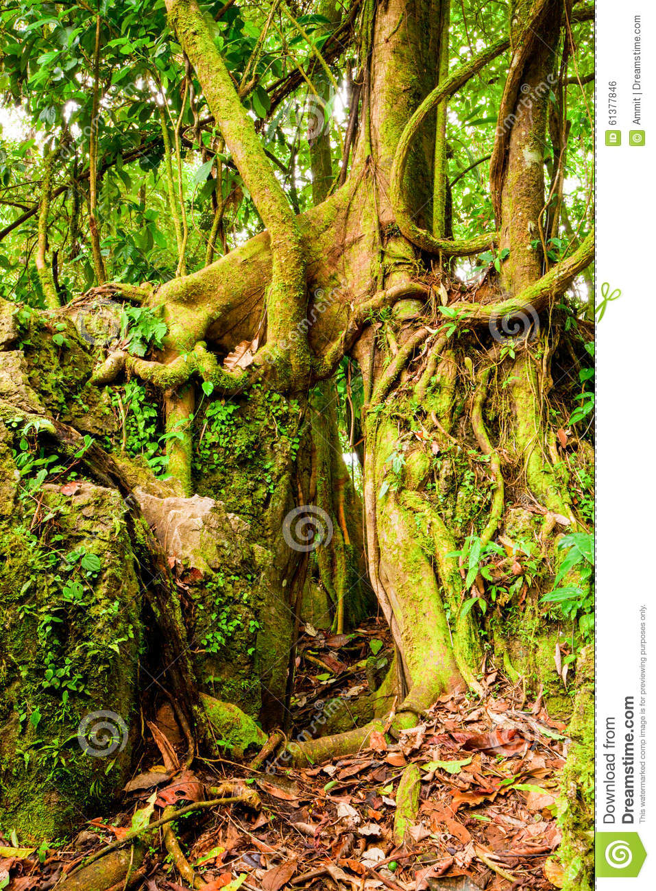 Matapalo Tree In The Cloud Forest Stock Photo - Image of matapalo