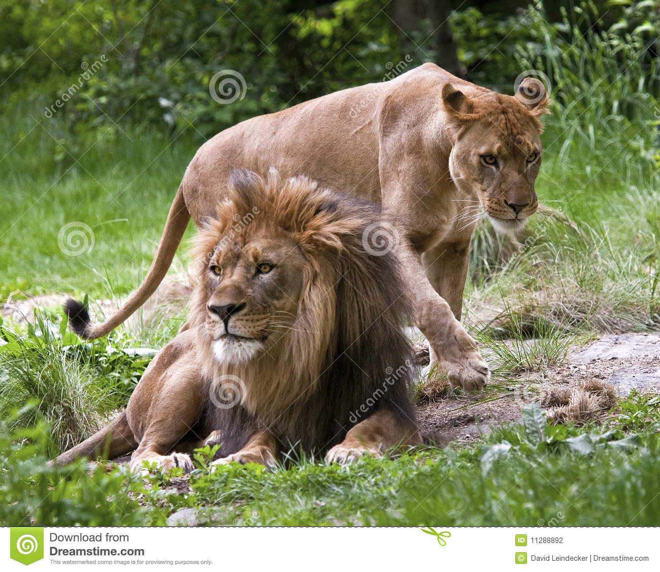 Mated Lions