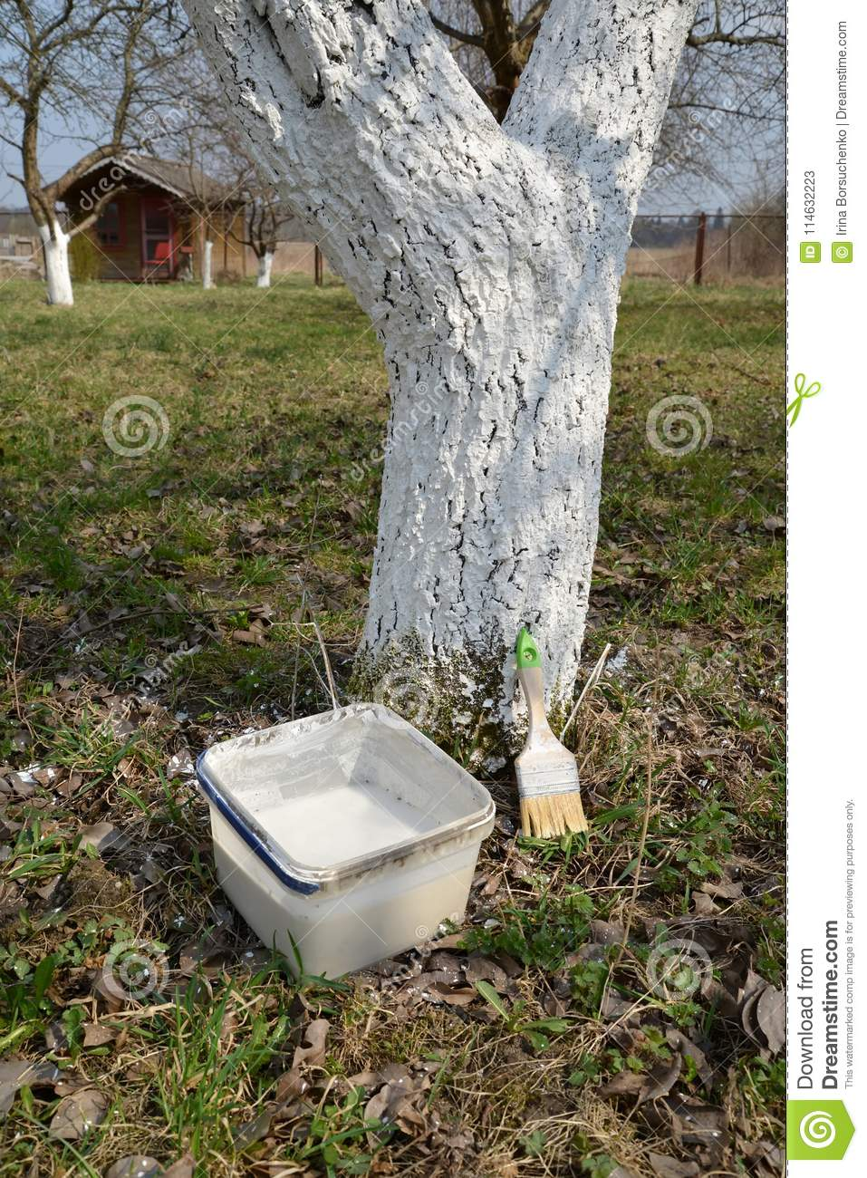 Materials For Whitewashing Of Fruit-trees About An Apple-tree Trunk ...