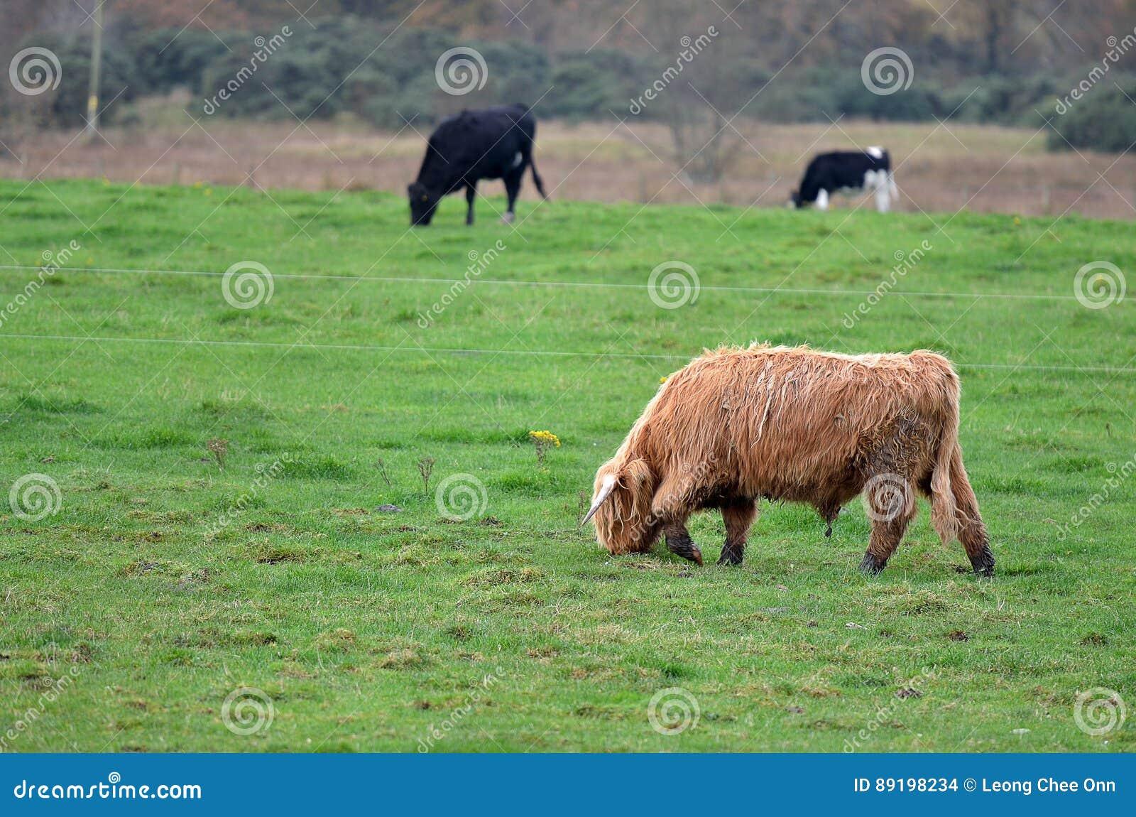 Materielbild av Skottland Angus Bulls och kor