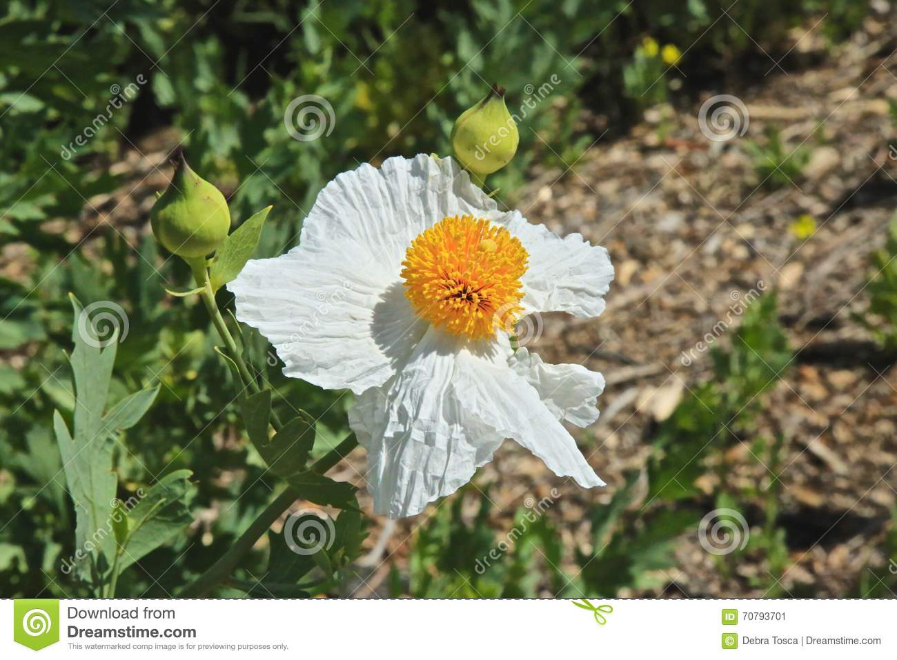 Poppy Flower Matilija Stock Image Image Of Pistols Center 70793701