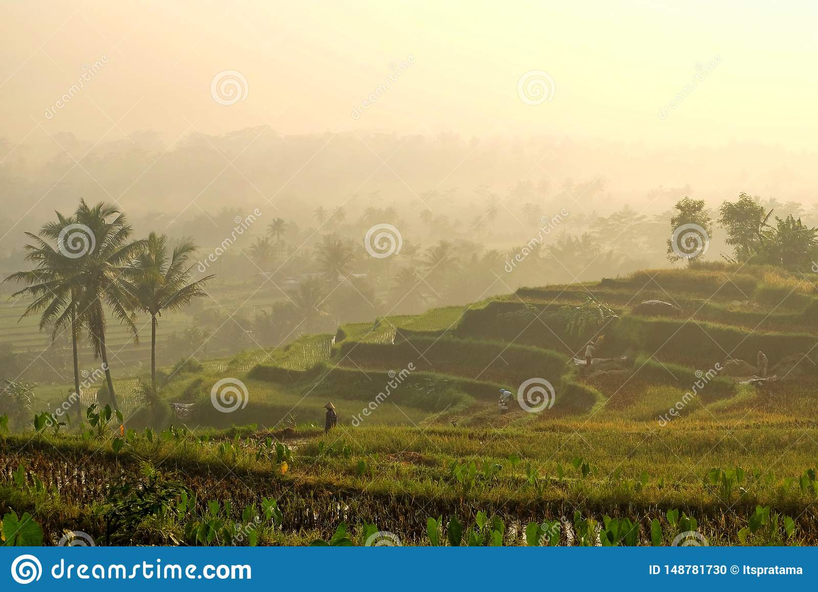 Matin dans les domaines de riz