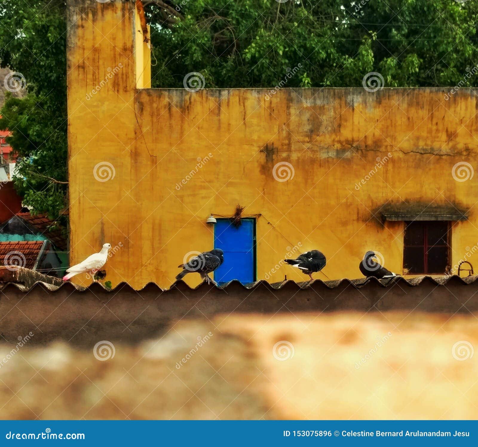 Matin de pigeon