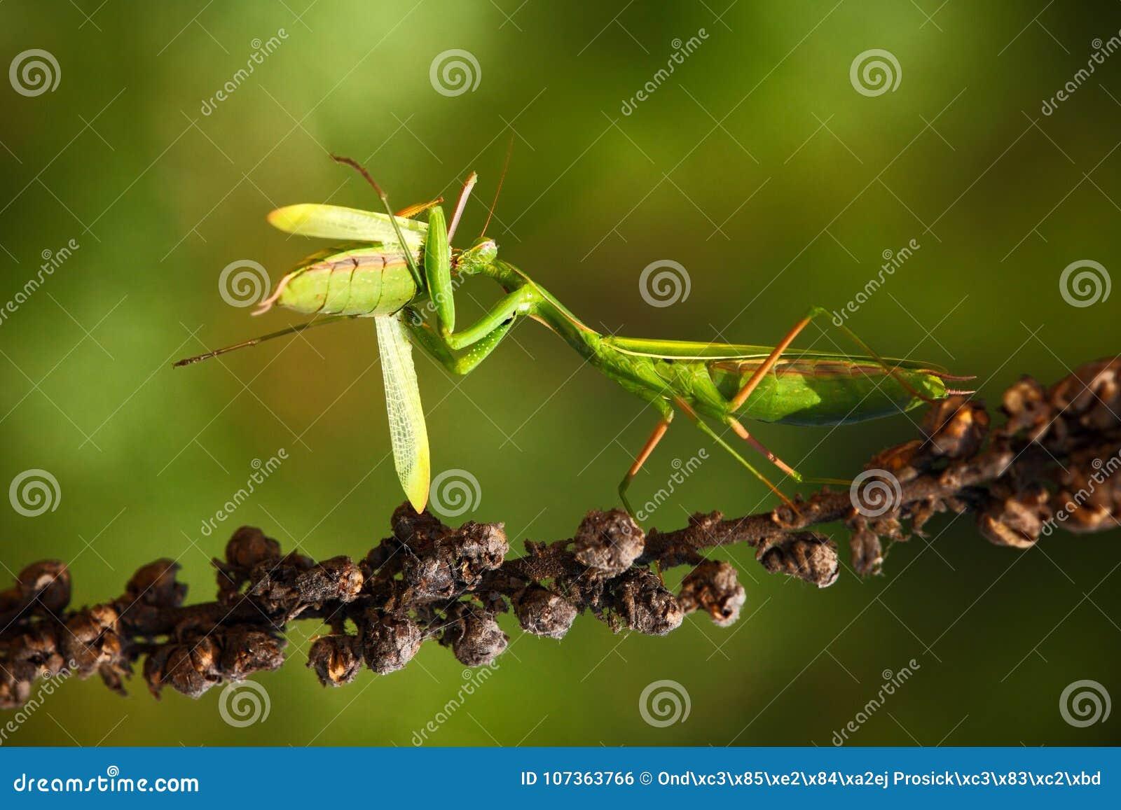 Matines mangeant les mantes, deux mantes de prière vertes d insecte sur la fleur, religiosa de mante, scène d action, République