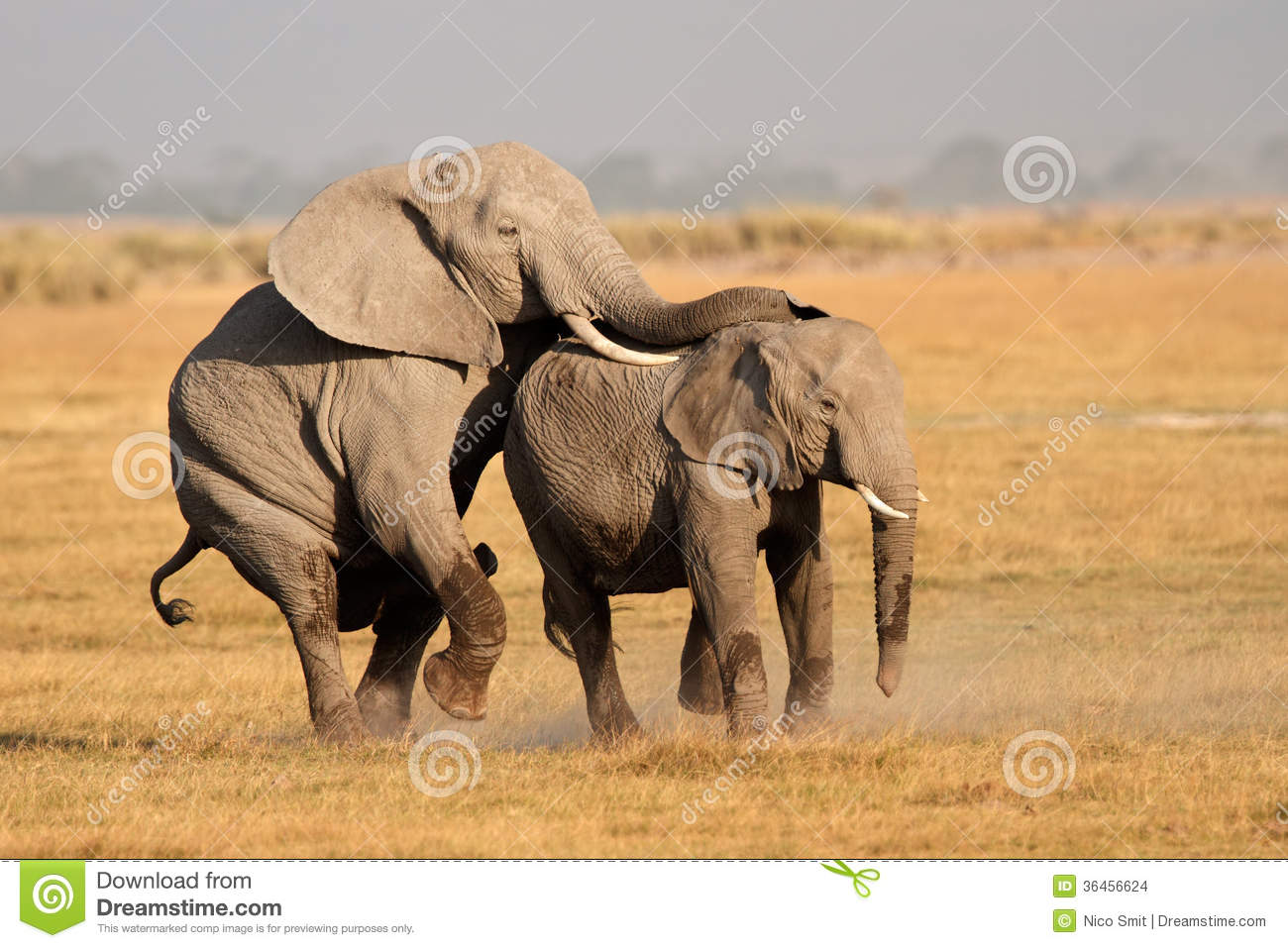 Mating African elephants stock photo. Image of trunk ...