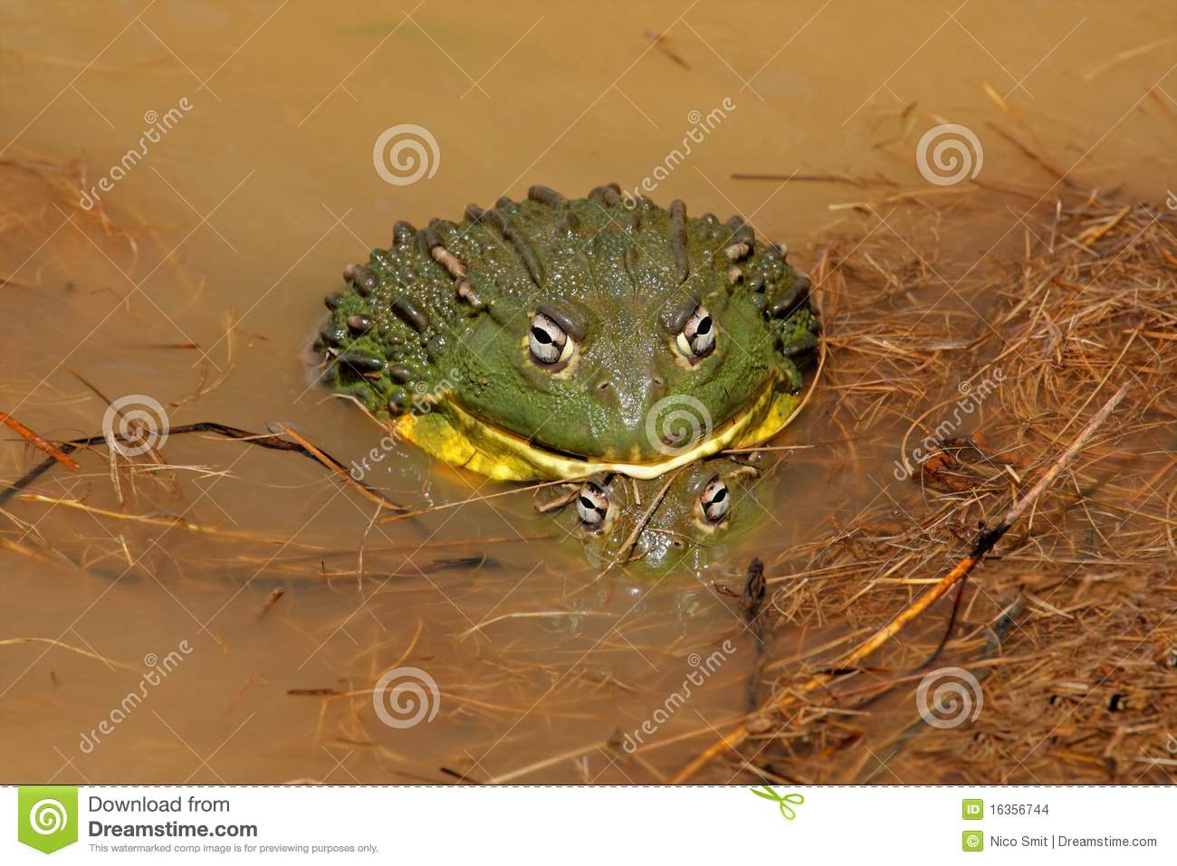 Mating African giant bullfrogs