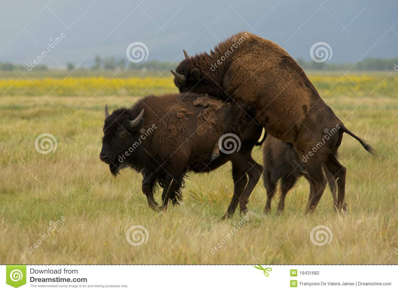 Mating American Bison Or Buffalo Stock Photography - Image ...