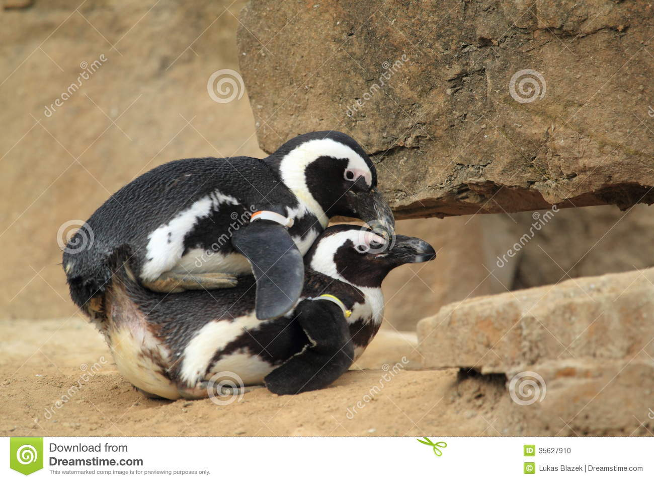 Mating Black-footed Penguins Stock Photo - Image: 35627910