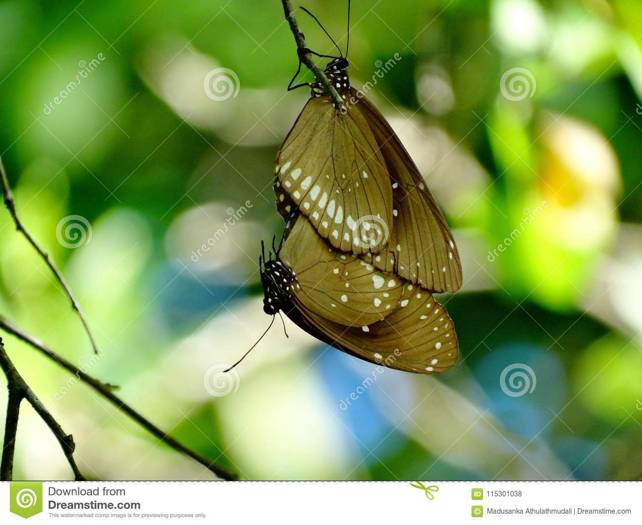 Mating butterflies, hang on each other
