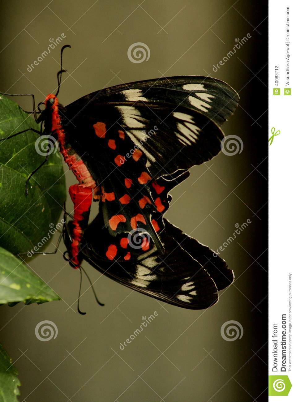 Mating butterflies, in nature. Artistic and beautiful.