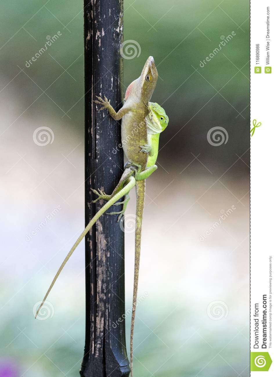 Mating Chameleon Green Anole Lizards, Georgia USA