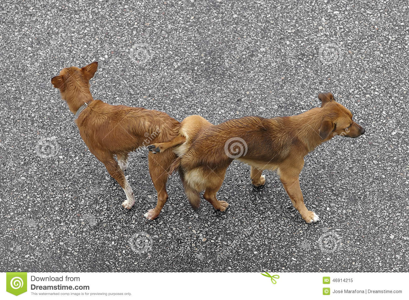 Mating Dogs Stock Photo - Image: 46914215