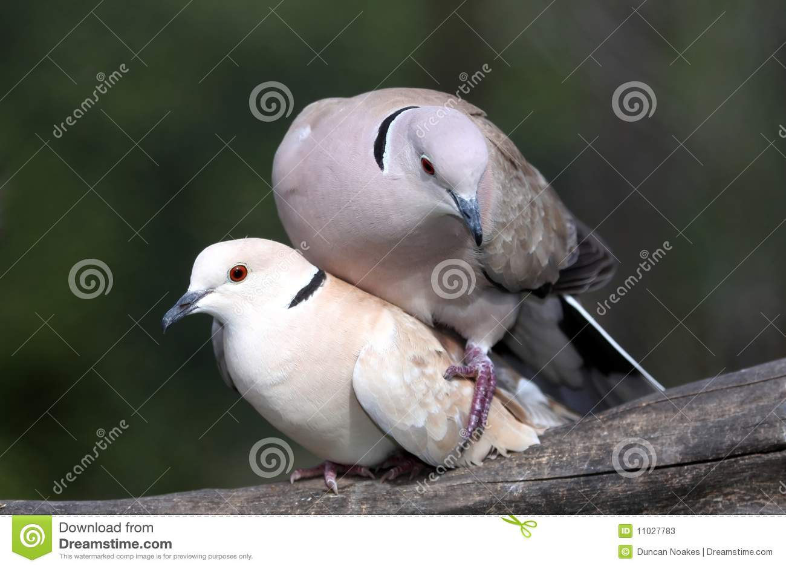 Трахаются два голубка