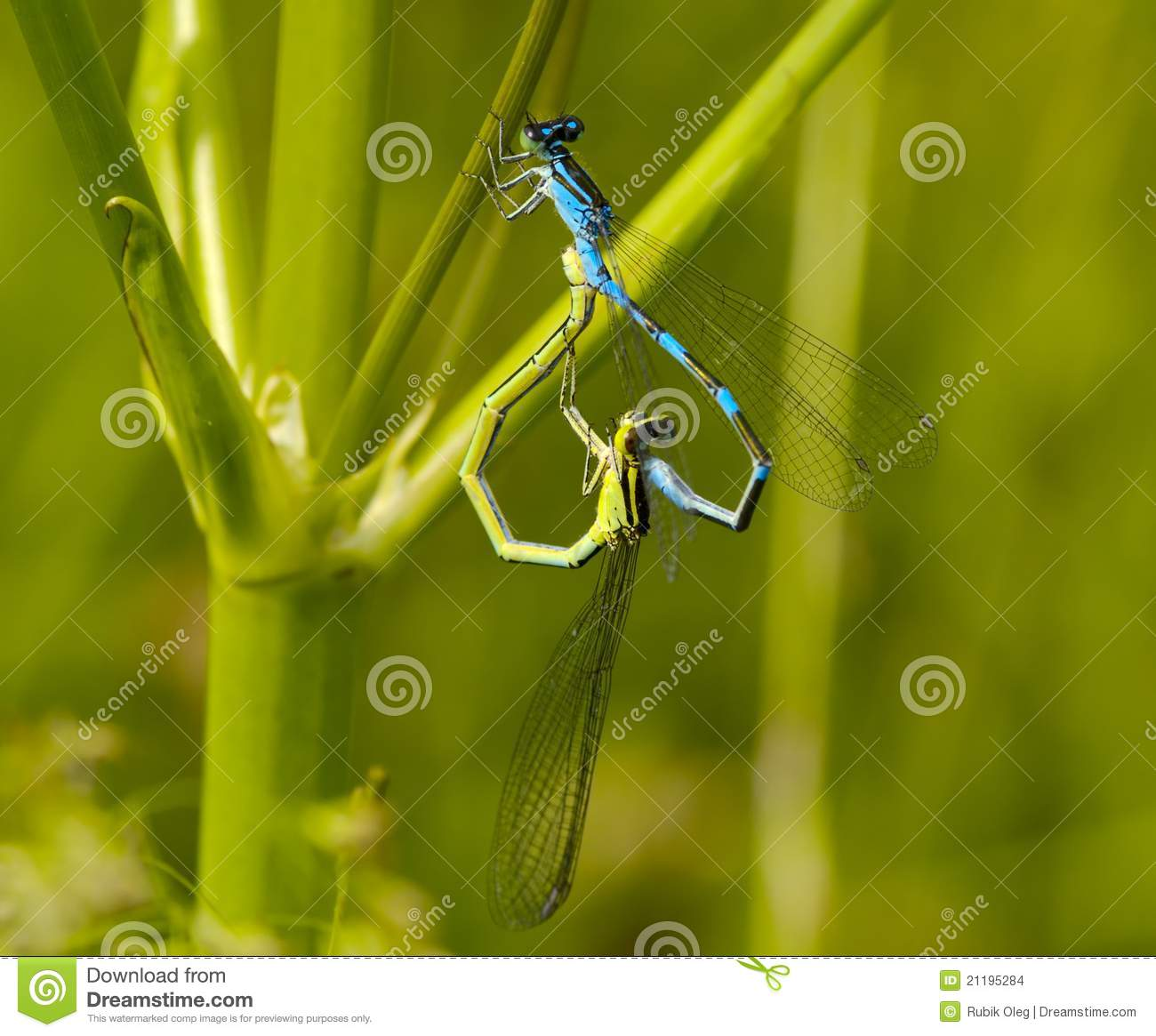 Mating of dragonflies