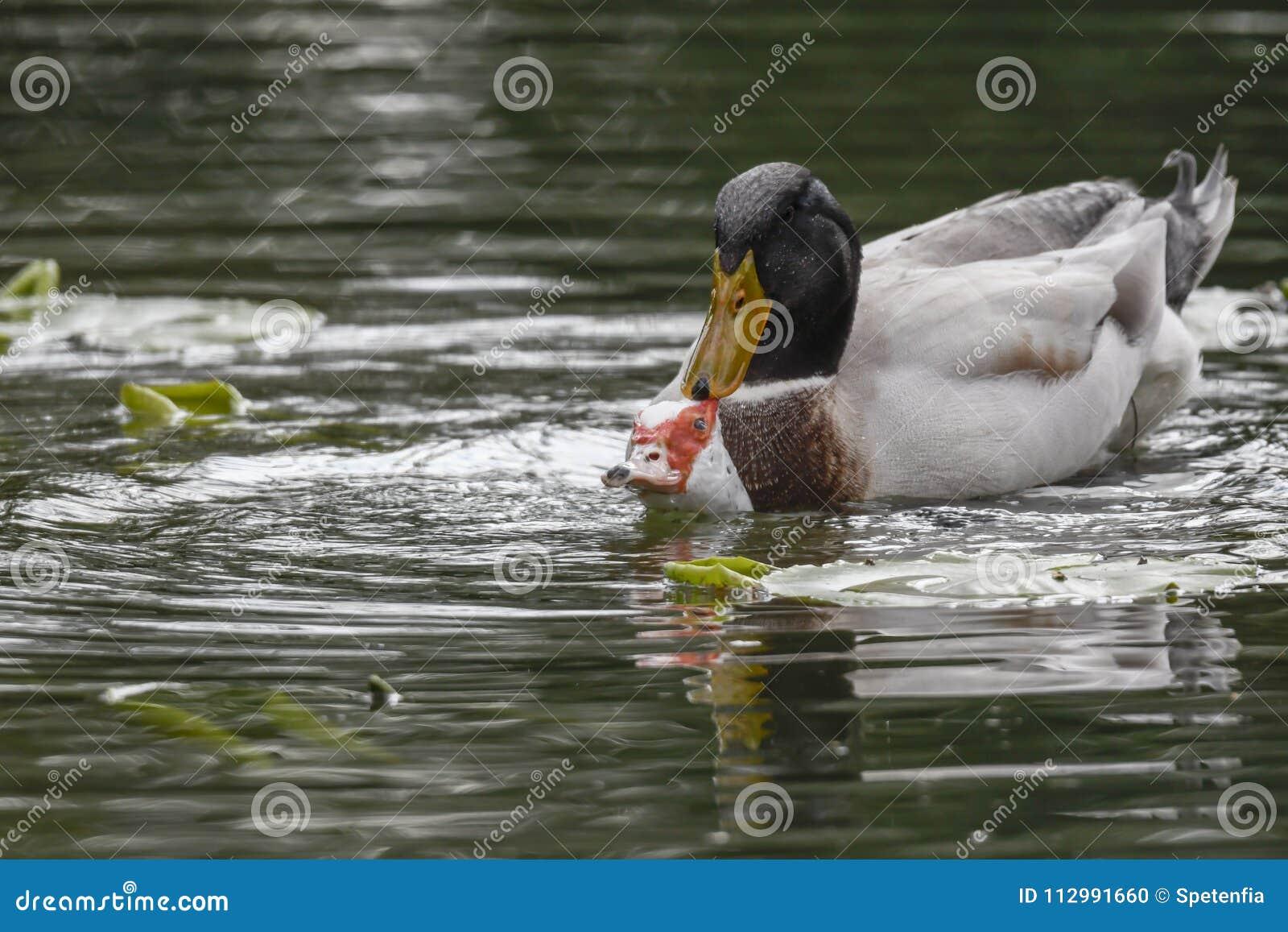 Mating ducks at lake