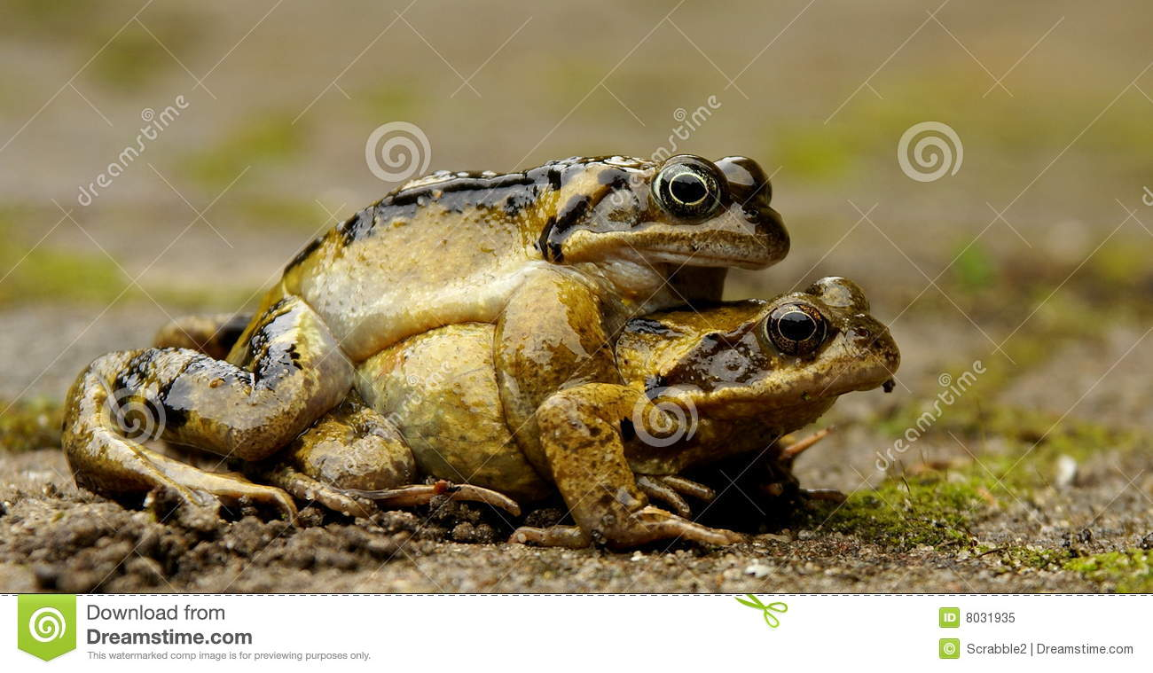 Mating Frogs Royalty Free Stock Photo - Image: 8031935
