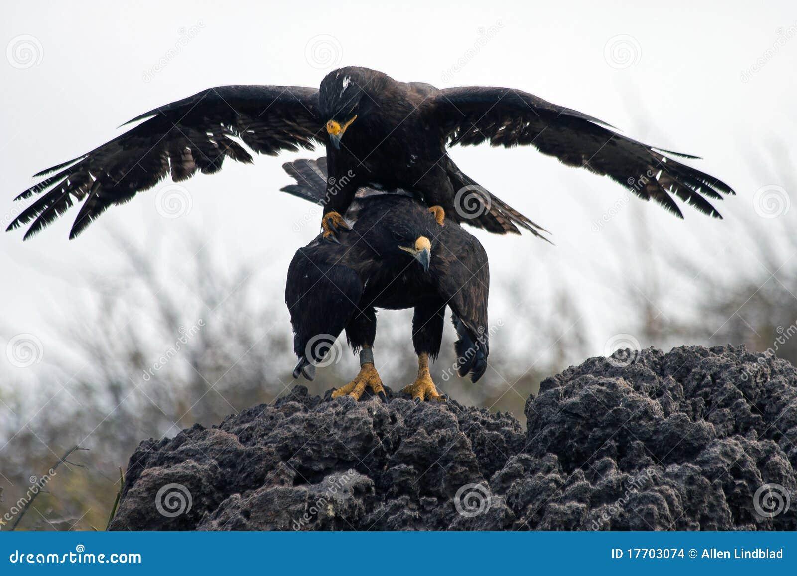 Mating Galapagos Hawks Stock Photo Image Of Couple, Birds - 17703074-8908