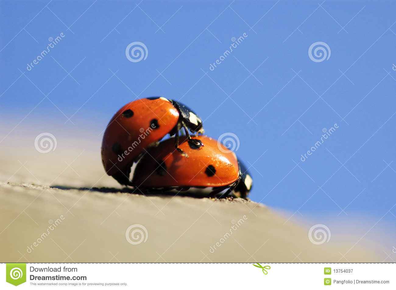 Mating lady bug in spring.