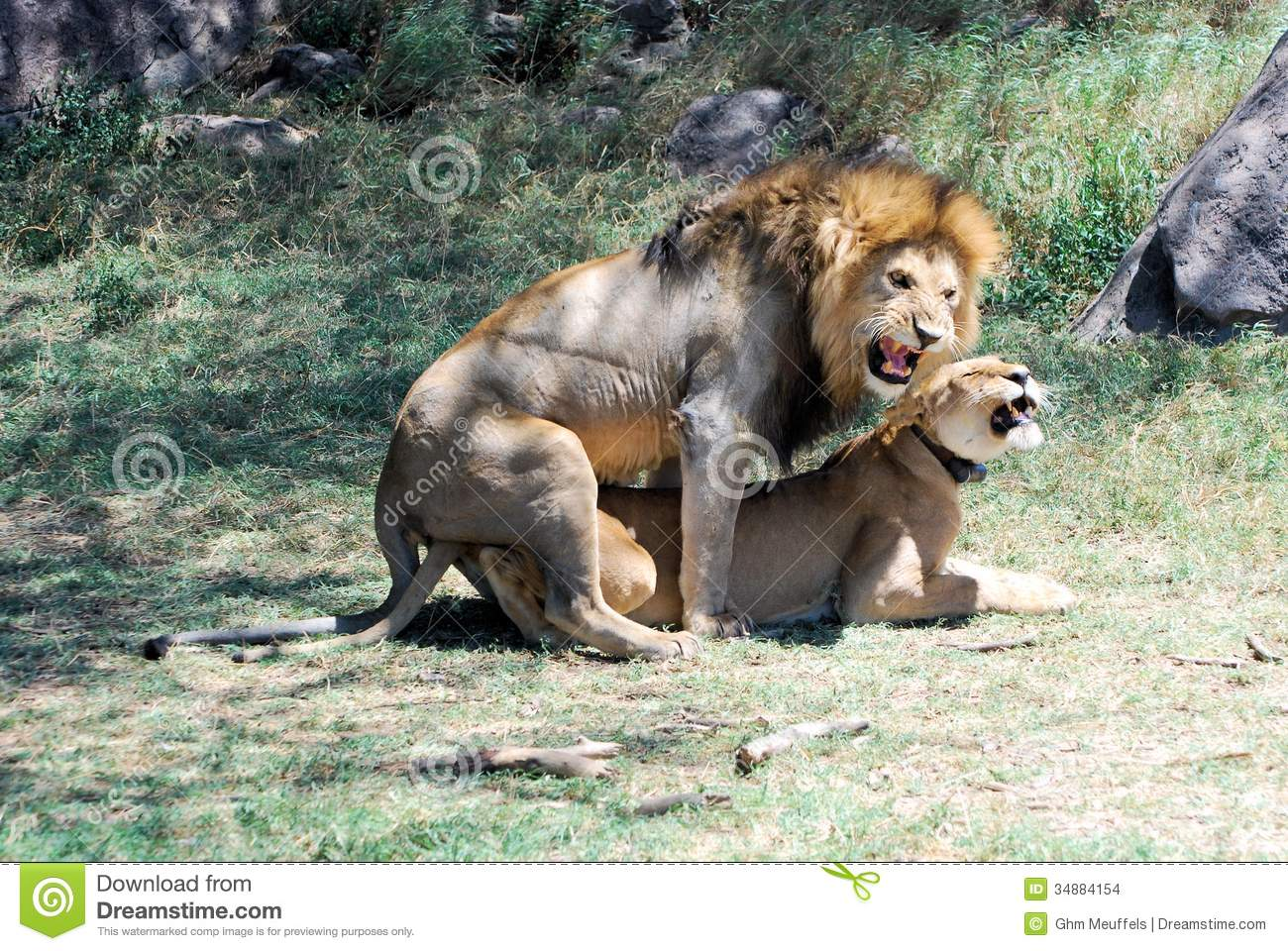 Serengeti national Park, Mating lion and lioness, Tanzania